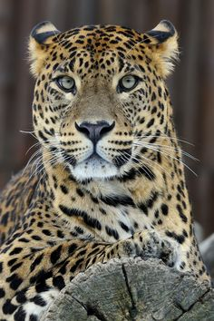 Leopard Portrait by Josef Gelernter, via 500px.