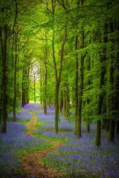Ashridge Woods, England (by Old-Man-George) Bluebells Beautiful World, Beautiful Places, Beautiful Pictures, Beautiful Forest, Terre Nature, Walk In The Woods, Natural Scenery, All Nature, Pathways