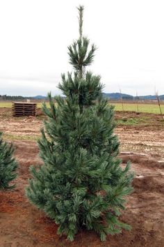 Vanderwolf's Pyramid Pine: columnar pine to 30 feet tall by 10-15' wide. Can be used as windbreak, but plant 15' from structures.
