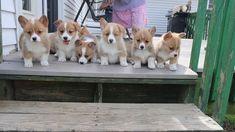 #PuppyPlaytime #PuppyVideo #Thursday #LancasterPuppies www.LancasterPuppies.com Corgi Puppies For Sale, Pembroke Welsh Corgi Puppies, Lancaster Puppies, Cute Corgi, Thursday, Dogs, Animals, Animales, Animaux
