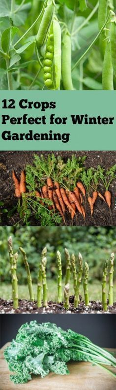 One of the most famous winter crops is kale. It's hardy, gross well, and can be used as tender sprouts or fully mature growths. You can pretty much grow any variety of onion during the winter, given that the soil doesn't freeze over too often. You can do green onions, red... *garden *ideas *plants *** Click image for more details.
