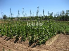 Paisaje veraniegos.  #fotolia #sold #photo #Photo #photography #design #photographer #buy #background #Orchards #agriculture #fields