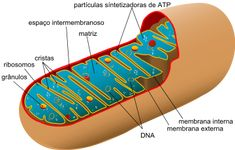 Mitochondria are organelles that produce energy for our body. Damage to their DNA or to certain nuclear genes can cause a mitochondrial disease, which may sometimes be serious. Dna E Rna, Mitochondrial Dna, Cell Biology, Study Biology, Biology Lessons, Ap Biology, Science Biology, Science News, Life Science