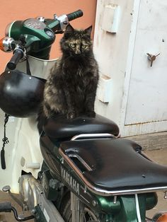 Moroccan cat style