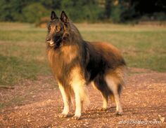 Belgian Shepherd Dog (Tervuren)  is a medium-sized, square-proportioned dog in the Herding dog group. Males stand between 24 and 26 inches, and weigh approximately 65 lb. Bitches are finer and smaller. It is recognized by its thick double coat, generally mahogany with varying degrees of black overlay, including a black mask.