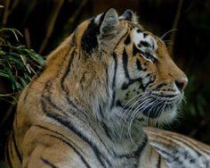 Tiger di Foto- Love