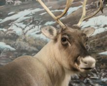 Biology For Kids, Lappland, Environmental Science, Geography, Finland, Reindeer, Teaching, Country, Nature