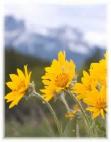 Arnica is approved for use by the Commission E for external use in injury and for consequences of accidents, e.g., hematoma, dislocations, contusions, edema due to fracture, rheumatic muscle and joint pain. The anti-inflamatory properties of arnica are primarily due to its sesquiterpene lactones. These chemicals cause a reduction of inflammation by blocking the actions of pro-inflammatory cytokines.