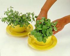 Xícaras de ervas. O chá tá quase pronto
