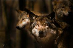 Lobos - Wolves.