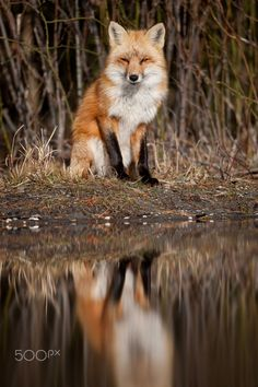 Red Fox Reflection by Ray Hennessy on 500px