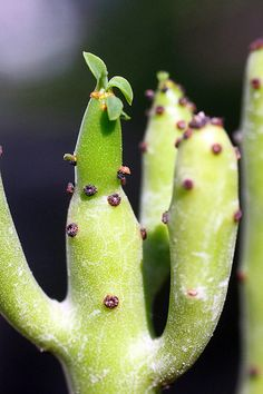Euphorbia cedrorum