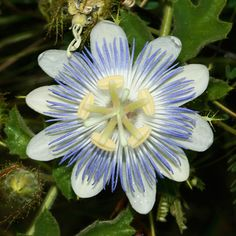 Passiflora foetida var. arizonica - Arizona Passionflower, Arizonia Passionflower [sic], Fetid Passionflower, Stinking Passionflower (flower)