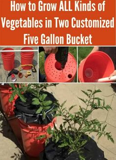 Grow All Kinds Of Vegetables In Five Gallon Buckets | Five gallon buckets are a inexpensive option to start container gardening to grow your own food.
