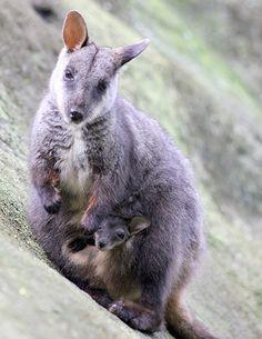 Endangered brush-tailed rock-wallabies joey