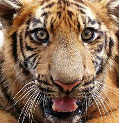 Eyes of the tiger by Swamibu, via Flickr