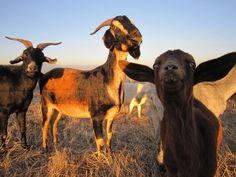 Goats in Laguna Beach? A local explains why #travel #VisitCA #hiking