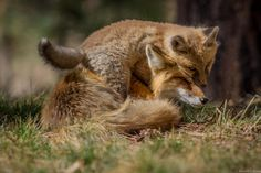 Red Foxes by Russell Colletta on 500px