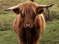 Shetland cow, Scotland