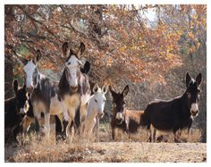 2015 Donkey Wall Calendar. Courtesy: Rural Heritage. Cedar Rapids, IA (USA)