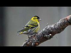 Vihervarpunen Bird, Animals, Animales, Animaux, Birds, Animal, Animais