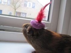 A very small hat for one of our Guinea pigs