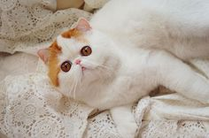 50 Cute Pictures of Snoopy the Cat - Cutest Paw Baby Cats, Cats And Kittens, Cute Funny Animals, Cute Cats, Snoopy Cat, Cats Tumblr, Exotic Shorthair, Little Kitty, Cute Creatures