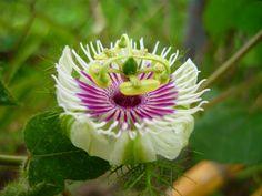 Passion-flower: Passiflora foetida - Flickr - Photo Sharing!
