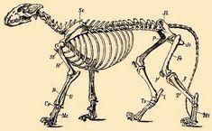 Resultado de imagen para esqueleto leon Skeleton, Anatomy, Bones, Art, Art Background, Kunst, Skeletons, Performing Arts, Dice
