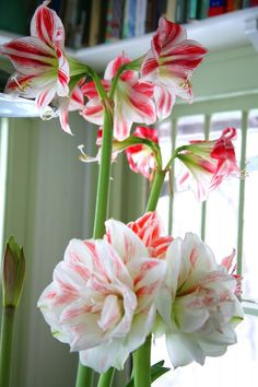 'All About Amaryllis' story by James Baggett from BHG. Lovely winter color indoors with amaryllis 'Elvas' 'Nymph' from Longfield Gardens Amaryllis Plant, Amaryllis Bulbs, Amaryllis Flower Ideas, Planting Bulbs, Planting Flowers, Amarillis, Bulb Flowers, Exotic Plants, Winter Colors