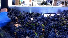 #StagsLeap grapes being processed @HALL St. Helena | HALL Rutherford in their Optical sorter earlier this afternoon. #NapaHarvest #Harvest2013 #NapaValley