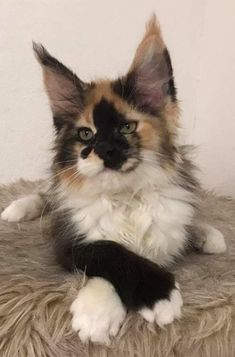 Interested in owning a Maine Coon cat and want to know more about them? We've made this site to tell you all you need to know about Maine Coon Cats as pets Pretty Cats, Beautiful Cats, Animals Beautiful, Cute Animals, Easy Animals, Kittens Cutest, Cats And Kittens, Cats Meowing, Ragdoll Kittens