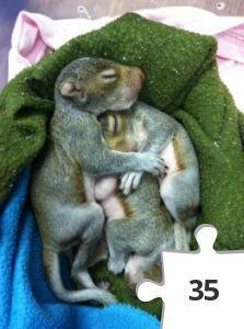Squirrel puzzle! | Caring for Squirrels | The Wildlife Center of Virginia