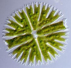 algen mikroskop - Google-Suche Botany, Asparagus, Vegetables, Google, Seaweed, Searching, Studs, Vegetable Recipes, Veggies