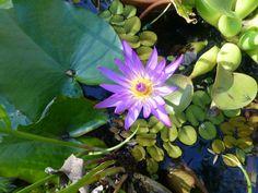 Blue water lillie