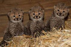 Cheetah cubs at Burgers' Zoo
