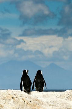A pair of African penguins 'holding hands' looking out at the horizon over the sea in Boulders Beach, False Bay, South Africa.