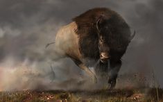 A fearsome #bison bull charges out of the mist.  Blowing steam and kicking up dust, he is header right at you.  In the grassy prairie, there is nowhere to hide.  You'd best turn and run.