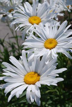 daisies = summer howmydayjustgotbetter.wordpress.com