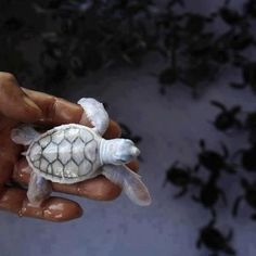 Albino baby sea turtle in Khram Island, Thailand ♥ I wish I had an exotic pet ...