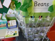Fantastic Bean growing project and display. Use clothes dryers to display, store etc. efficiently and temporary. Investigation Area, Investigations, Teaching Science, Kid Science, Teaching Ideas, Science Curriculum, Science Ideas, Growing Beans, Continuous Provision