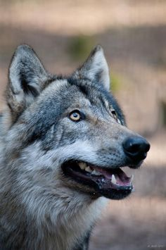 LOVE this picture - what a beautiful wolf ..
