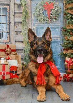 German Shepherd – Strong And Loyal Christmas Puppy, Christmas Animals, Christmas Cats, Merry Christmas, Baby Animals, Cute Animals, Schaefer, Gif Animé, Christmas Scenes
