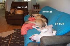 Pit bulls love to spread out... ;-)