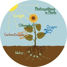Plant photosynthesis powerpoint template is one of the best photosynthesis for kids google search toneelgroepblik Choice Image