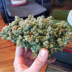Weed Online Supply is a fast and discreet place to Buy Marijuana/ Buy weed /Buy cannabis at affordable prices within USA and out of USA.Get the best with us as your satisfaction is our priority You can text /call or WhatsApp us now via Cannabis Seeds For Sale, Buy Cannabis Online, Cannabis Oil, Growing Marijuana Indoor, Marijuana Plants, Cannabis Growing, Growing Weed, Smoke Weed, Weed