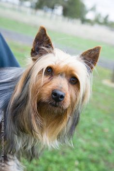 encyclopediapage / Breed Encyclopedia / Purebred Dogs / Your Dog / Home - RoyalCanin Australian Dog Breeds, Australian Bulldog, Silky Terrier, Small Animals, Cute Animals, Dachshunds, Doggies, Big Dogs, Dogs And Puppies