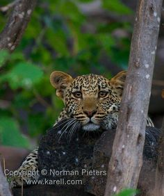 Check out the magnificent reflection in the eyes of this young #leopard cub taken at #Mashatu Game Reserve in #Botswana // #Safari #Photography