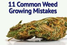 So many people fail on their first attempt to grow marijuana. Avoiding these common beginner mistakes can ensure you succeed where so many have failed. Cannabis Cultivation, Cannabis Edibles, Cannabis Plant, Cannabis Shop, Thc Oil, Marijuana Recipes, Marijuana Funny, Aquaponics, Recipes