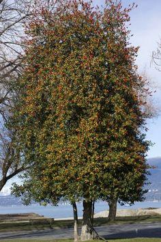 Forsythia Rejuvenation Pruning Tips On Hard Pruning
